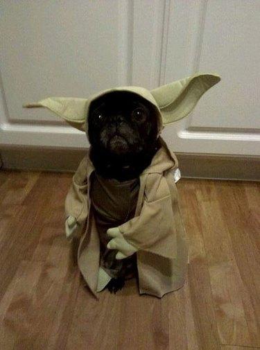Star Wars Yoda dog