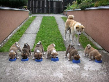 Dog watches puppies eating from bowls.