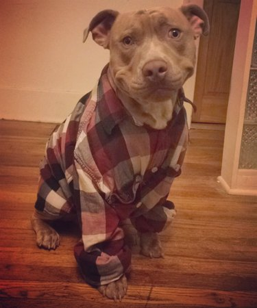 Dog in a flannel shirt