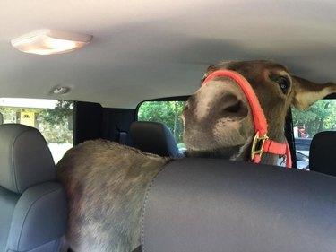 donkey in car face