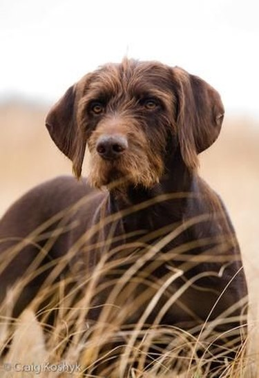 Pudelpointer in tall grass