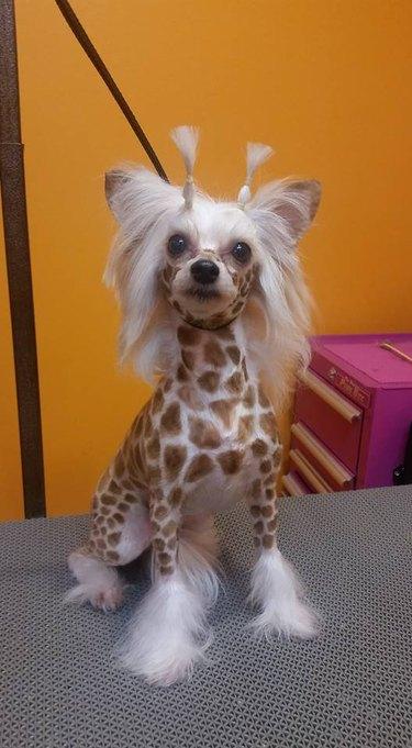 Dog dressed as giraffe.