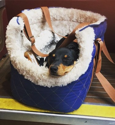Dog in padded carrier.