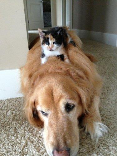 Kitten lying on dog.