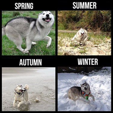 Photo set of Husky making a silly face in all four seasons.