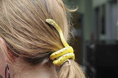 Snake curled around woman's ponytail.