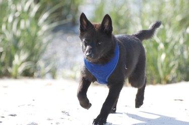 Kai Ken Dog Breed Facts & Information