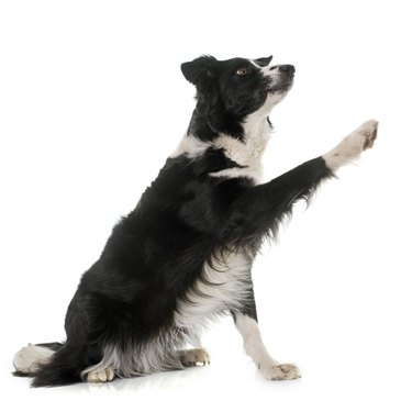 Border collie holding up paw