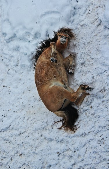 Horse rolling in snow.