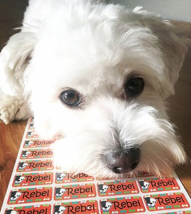 White maltese dog poses for cute picture
