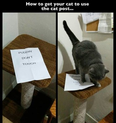 """Cat jumping on sign on scratching post that says """"Puddin' Don't Touch"""""""