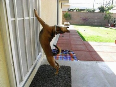 Dog stretching with front paws on screen door.