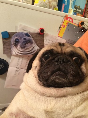 Pug photobombed by seal