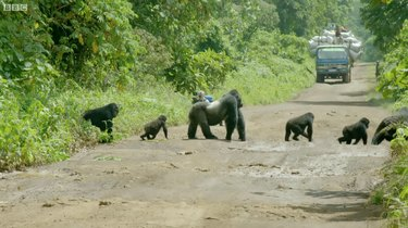 Gorilla dad guides family safely across logging road