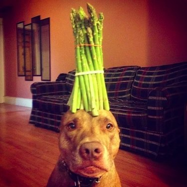 Scout the dog with asparagus on his head
