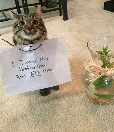 """Cat sitting next to fishbowl wearing sign that says """"I Tipped My Brother Over And ATE Him"""""""