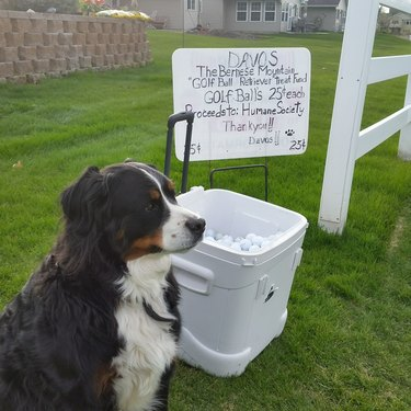 Dog raises money for shelter animals by finding lost golf balls
