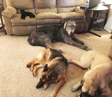 Kitten lying on couch with three big dogs lying on floor.