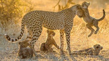 Cheetah cubs with their mother.