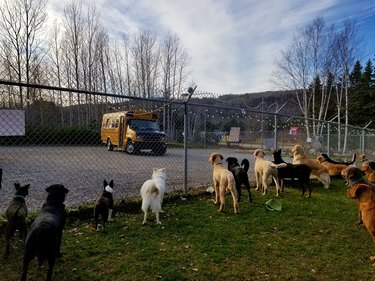 Canadian kennel ferries dogs to and from daycare in a yellow mini school bus