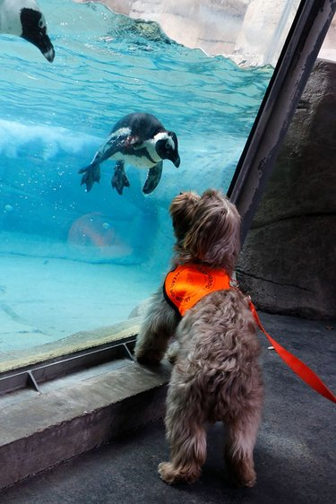 Dog and penguin look at each other through aquarium glass.