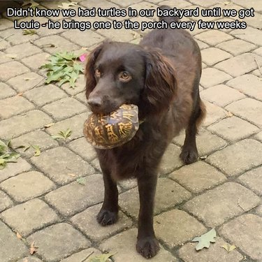 Dog carrying a medium-sized turtle.