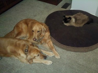 Cat sits on large dog bed while two dogs lay on the floor next to it.