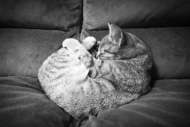Kitten sleeping in the shape of a heart