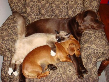 Two dogs and a cat sleeping in an armchair.