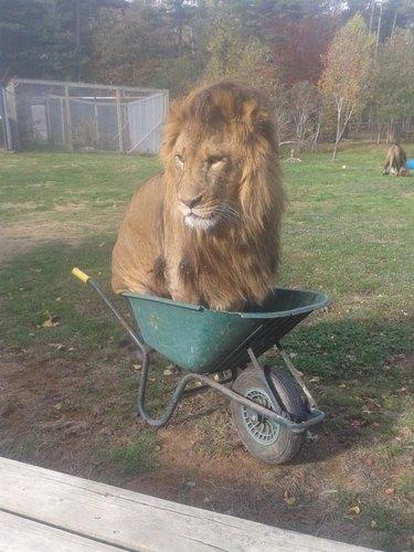 Large male lion sitting in wheelbarrow.
