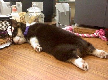 Sleeping corgi puppy