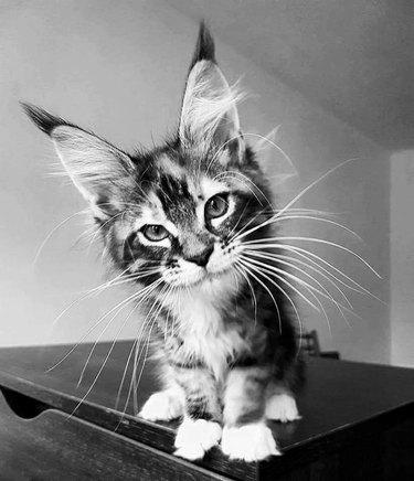 Majestic cat is majestic