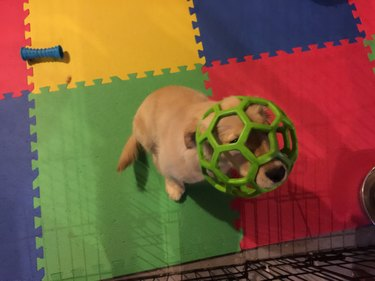Puppy with head stuck in green ball.