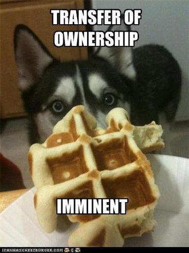 Dog staring intently at waffle.