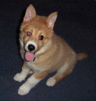 Pup with one red eye