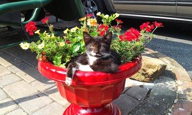 Kitten relaxing in flower planter pot.