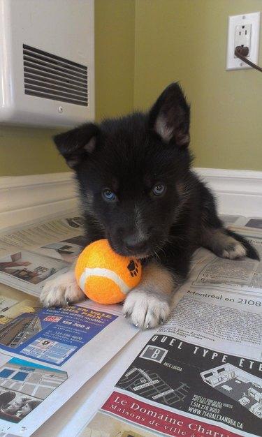 Puppy with orange tennis ball.