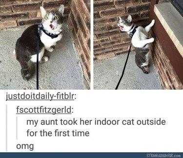 Startled cat on leash.