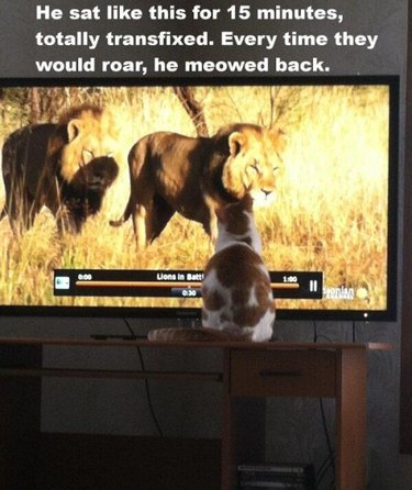 Cat sitting in front of television showing nature documentary with lions.