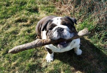 Bulldog with thick stick