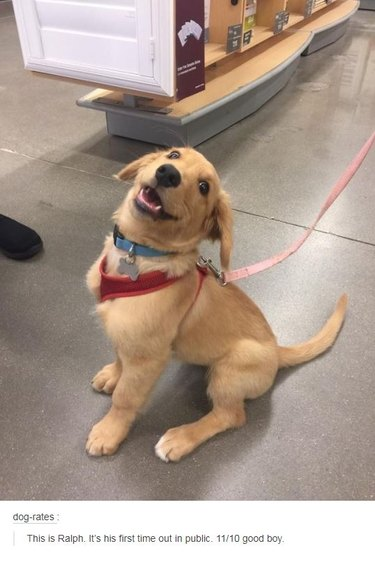 Excited puppy. Caption: This is Ralph. It's his first time out in public. 11/10 good boy