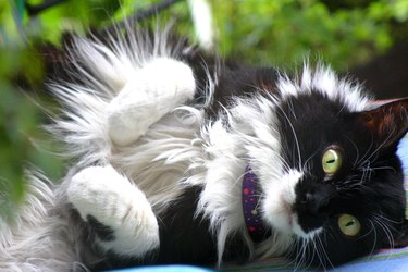 Fluffy black and white cat