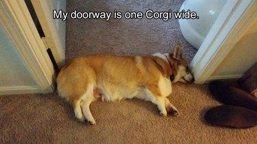 Corgi lying in doorway lengthwise. Caption: My doorway is one Corgi wide.