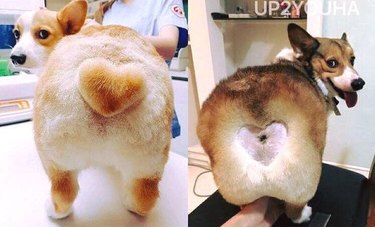 Cutest Corgi Ever Pleased With Awkward, New Hairdo