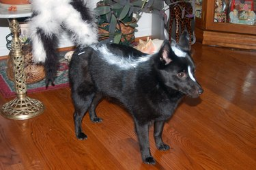 Dog dressed as a skunk.