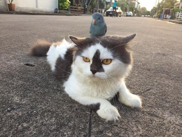 Cat Can't Find The Bird He's Been Chasing