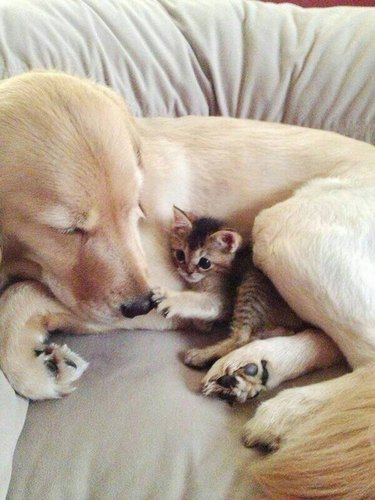 Dog with Baby Kitten