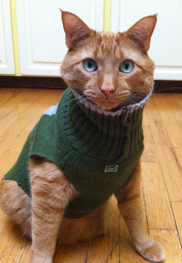 Cat with green turtleneck and blue-green eyes.