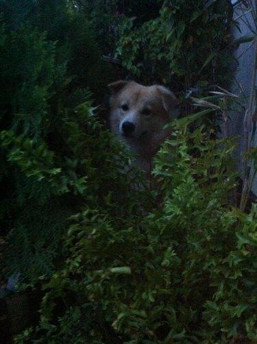 Dog hiding in bushes.