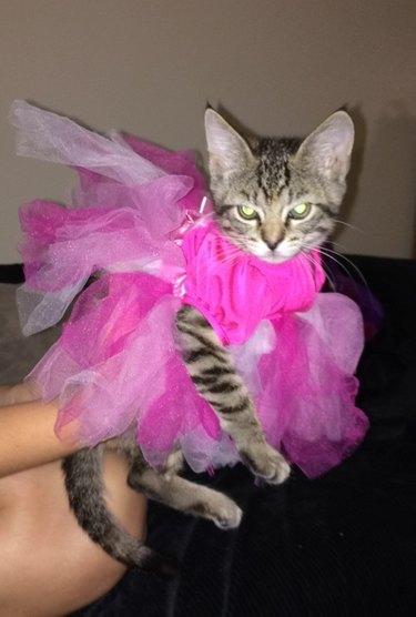 Unimpressed cat in a dress